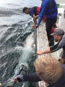 Det tog 50 minuter att få in den första tonfisken i lördags. Sill och makrill lockade som agn. BILD: Staffan Jorup