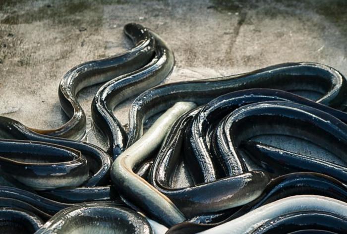 Europeisk ål
