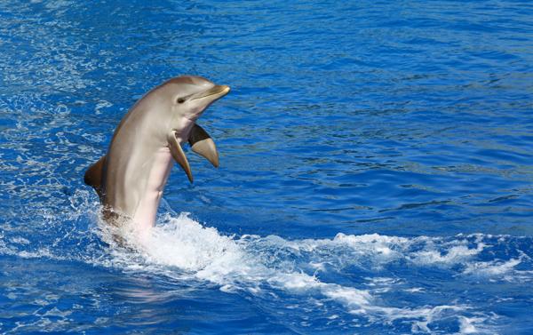 Delfin siktad utanför Strömstad